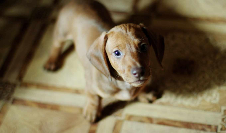 животные, собаки, такса, animals, dogs, biscuits, печенье,