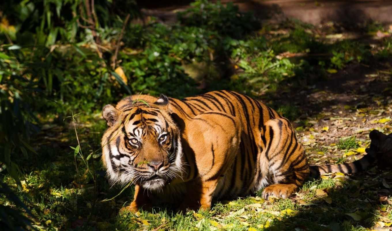 красивые, мар, тигр,