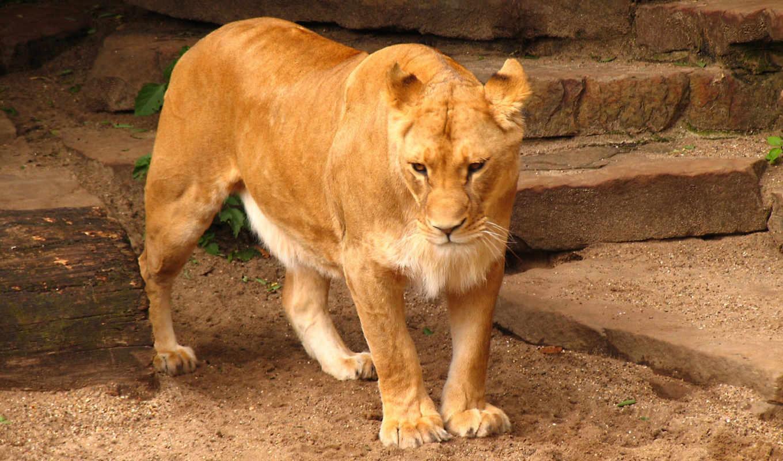 lion, free, high, live, desktop,
