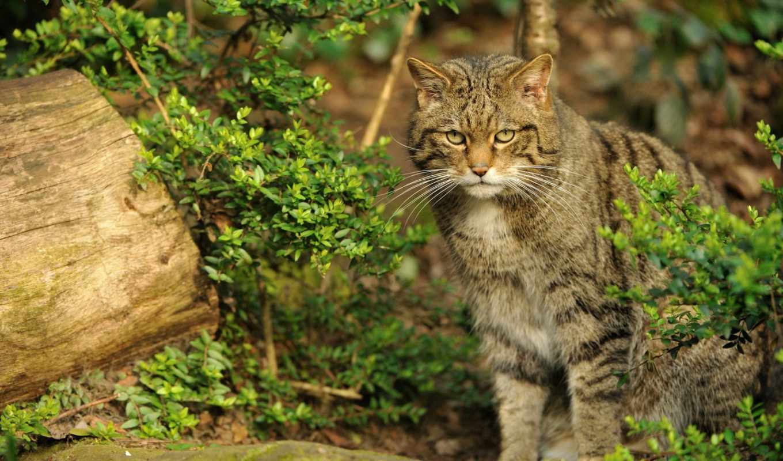 wild, кот, лесная, лес, cats, кавказская, alabama, фото,