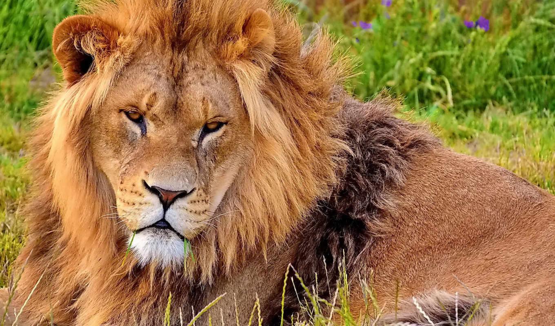 lion, морда, грива, смотрит, лежит,