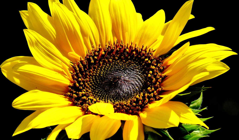 цветы, подсолнух, fone, черном,