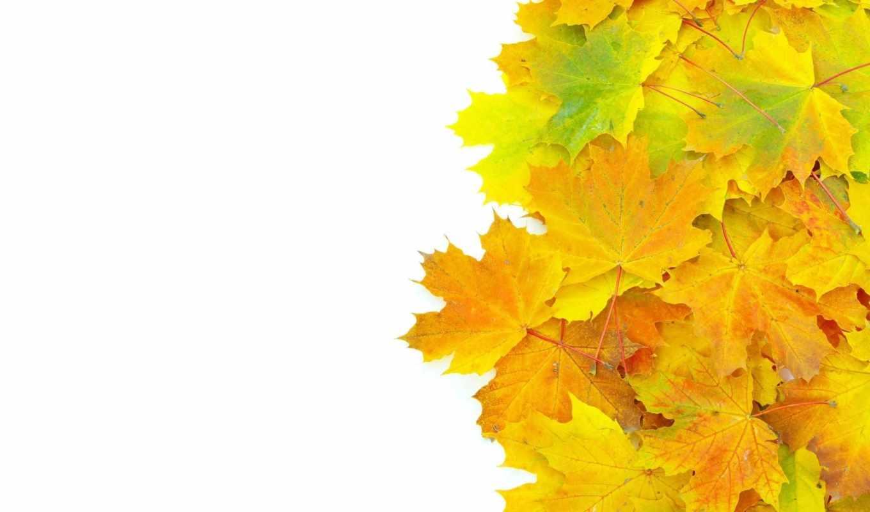 листья, осенние, желтые, fone, белом, кленовые,