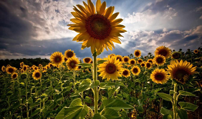 подсолнухи, лето, поле, flower, sunflowers, небо, sunflower, amazing, картинка, background, desktop, nature,
