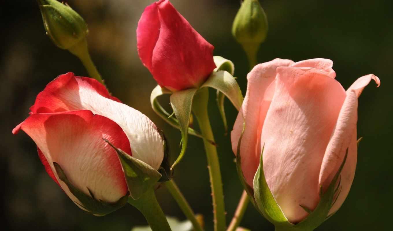 розы, бутоны, розовые,