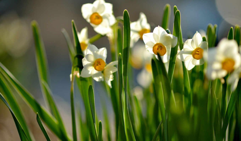 цветы, весна, нарциссы, цветение, солнечно, листья,