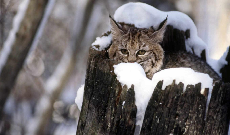 cat, kitten, animal, рысь, животные, pictures, animals, montana, flathead, valley,