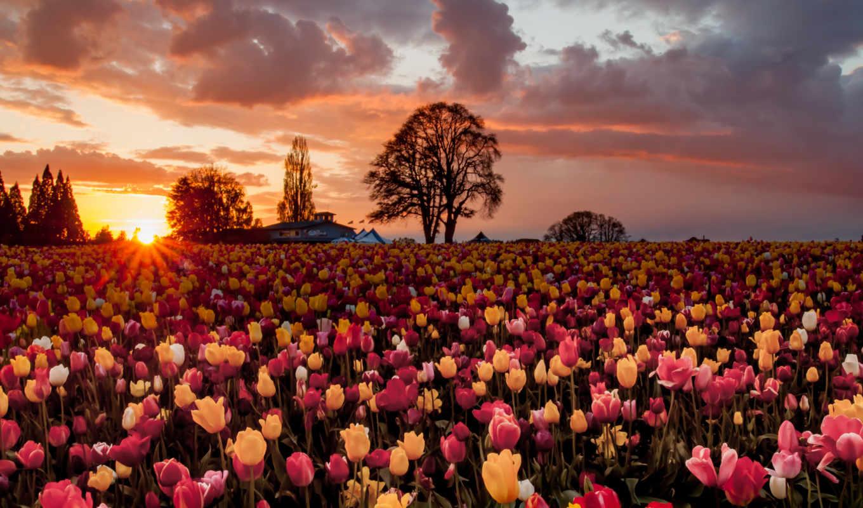 цветы, тюльпаны, поле, деревья, много, sun,