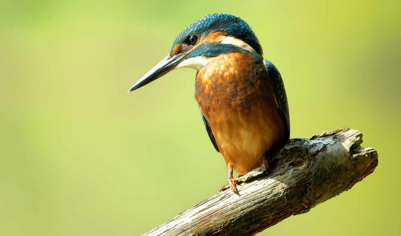 птица, kingfisher, ordinary, рыбалочка, branch,