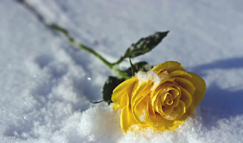 роза, unique, природа, снег, flowers, yellow, love, pictures,