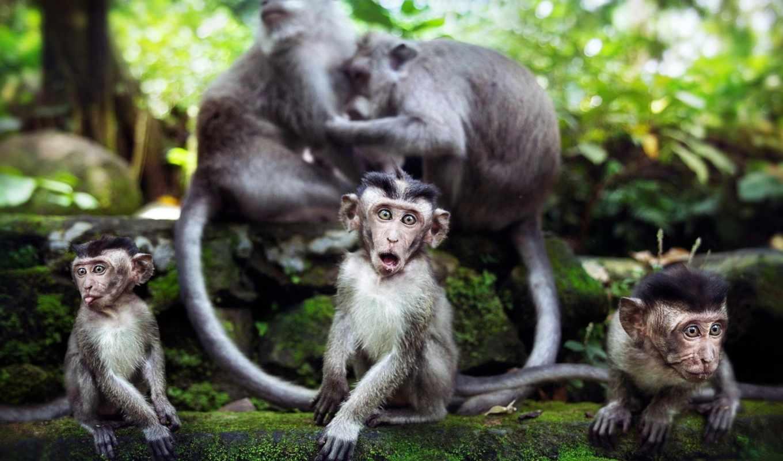 обезьяна, animals, monkeys, are, desktop,