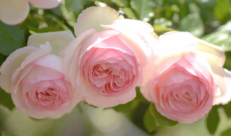 розы, нежность, цветы, три, розовые, бутоны, картинку, розовый, бело,