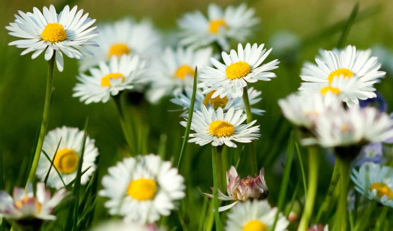 ромашки, лето, зелень, трава, цветы, flowers, spring, daisy, поле, desktop, природа, amazing, картинка, you,