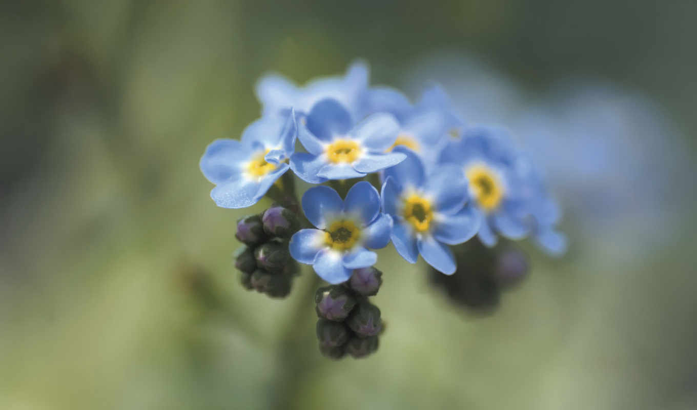 forget, not, flowers, blue,
