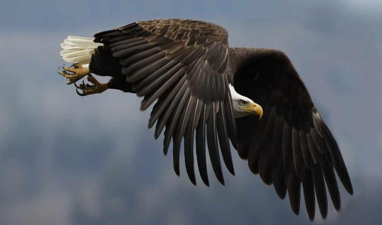 орел, птица, птицы, животных,