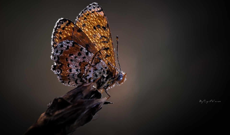 макро, бабочка, капли, цветы, роса, серый, крылья,