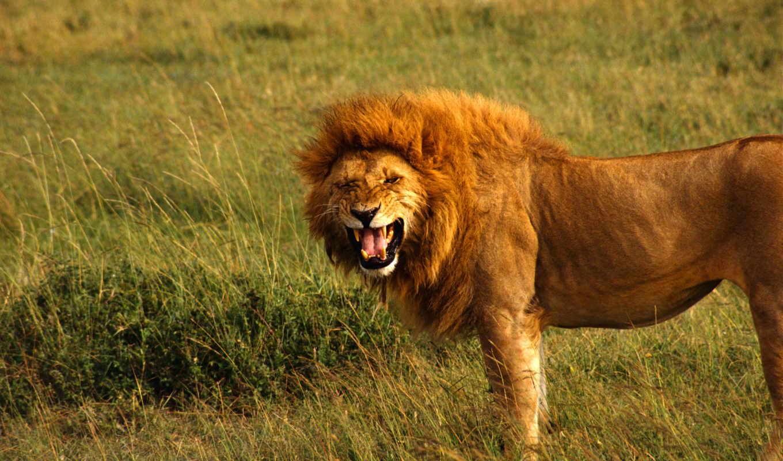 lion, большой, king, грива, unsubscribe, пасть, недоволен, rabstol, подичинённых, video,