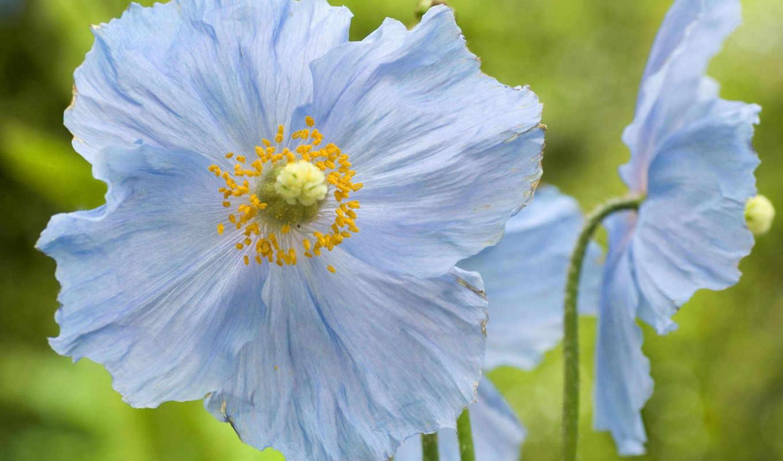 flowers, blue, картинка, вид, poppies, красиво, природа, poppy, desktop,
