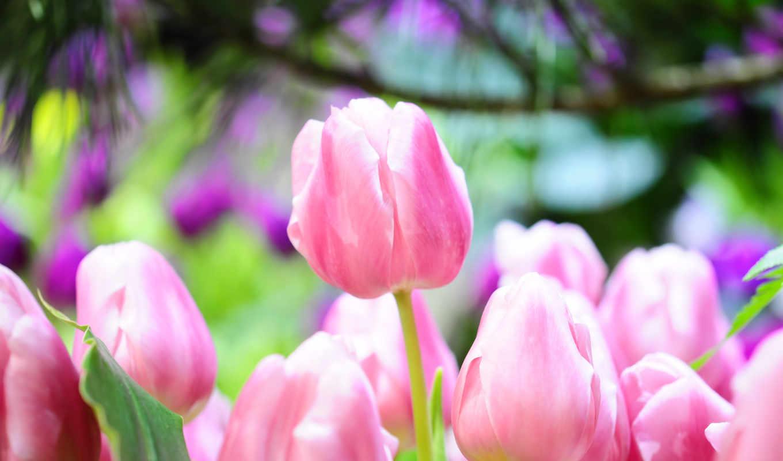 тюльпаны, розовый, весна, макро, ярко, бутоны, картинка, картинку,