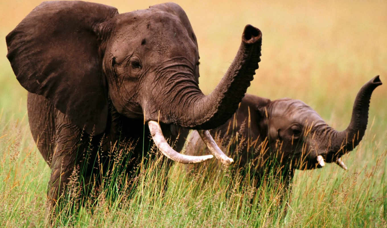 слоны, слон, african, слонов,