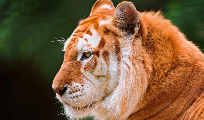 тигр, золотистый, тигров, тигры, окрас, существует, окрасом, удивительные, золотые, самый, прошлого,