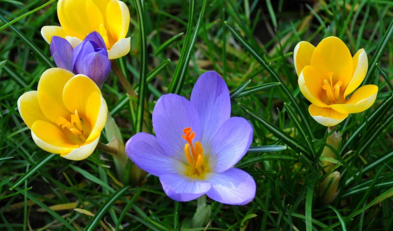 весна, крокусы, frases, flores, sandra,