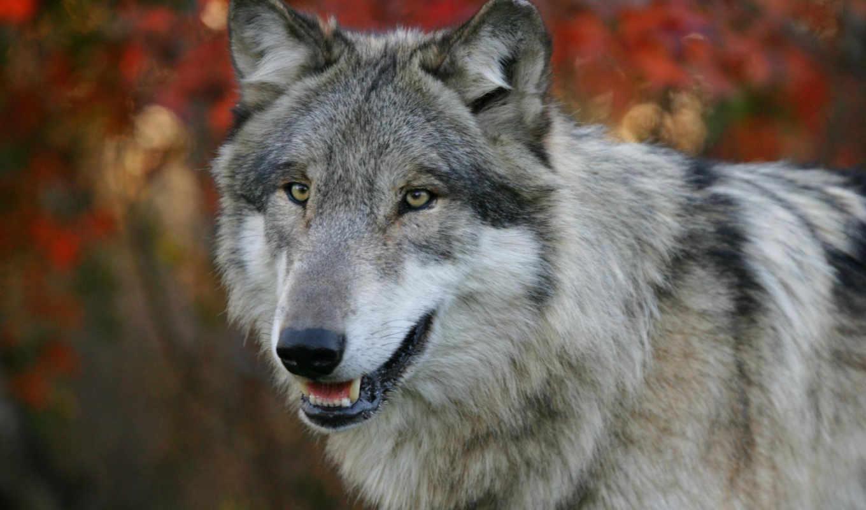 волк,