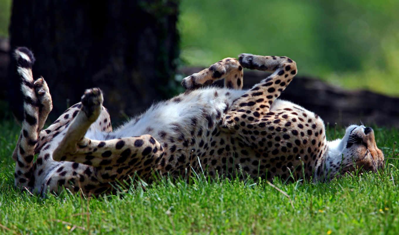 гепард, хищник, спит, дикая, трава, спине, лежа,