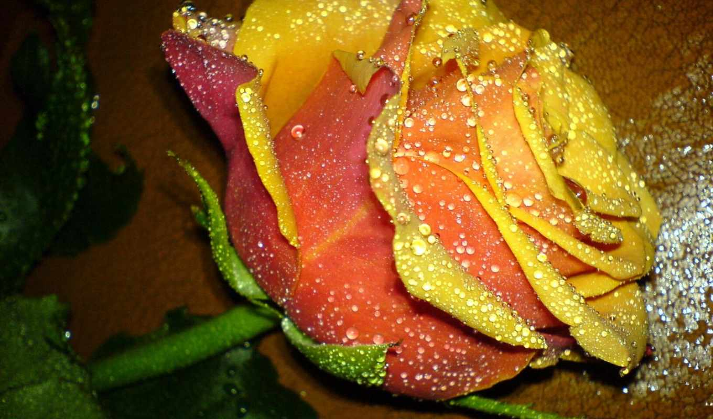 цветы, розы, роз, тема, роза, фотографий,