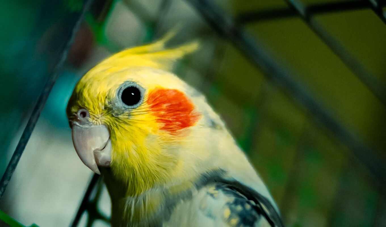 cockatiel, попугай, птица, funny