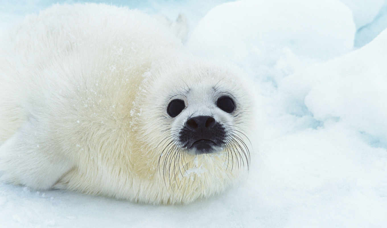 seal, free, animal, baby, facts, download, animals, морские, seals, cute,
