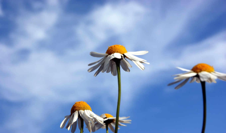 ромашки, небо, природа, картинка, картинку, кномку, салатовую, кликните, понравившимися, картинками, поделиться, левой, мыши, кнопкой, же, так,