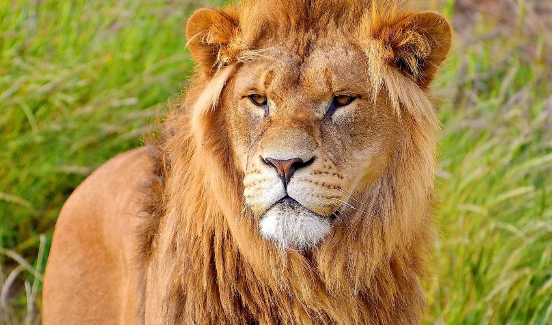 lion, взгляд, грива, морда, унитаз, поднос,