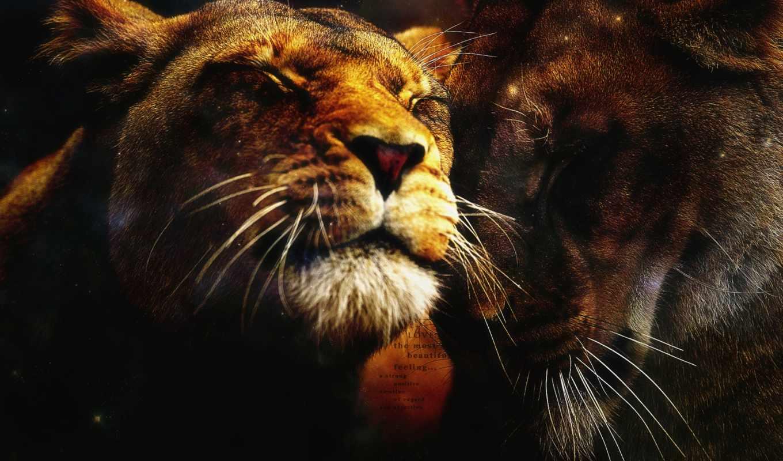 wallpaper, hd, lions, wallpapers, love, любовь, lion, you, photos, posted, львиная, радость, desktop, животная, прощение, прошу,