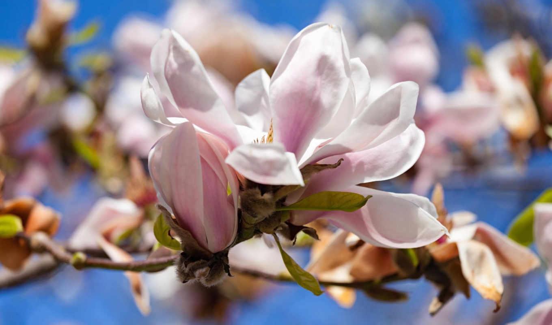 магнолия, цветы, дерево, растение, реликтовое,
