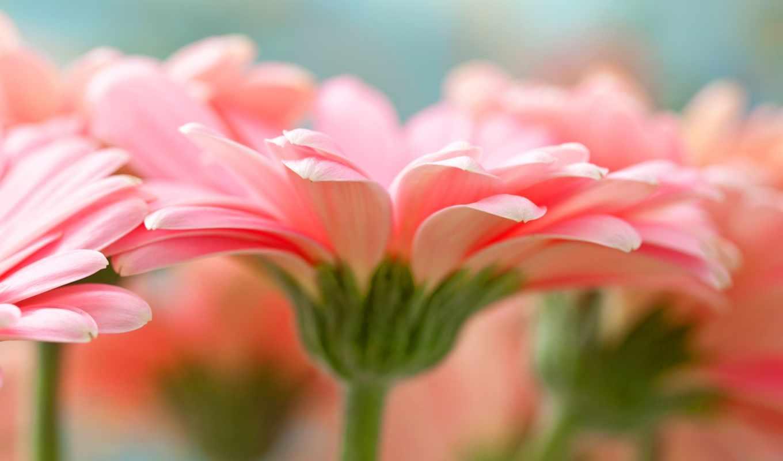 макро, лепестки, цветы, герберы,