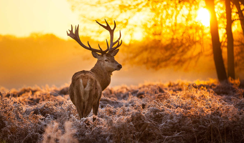 лань, природа, рога, лес, взгляд,