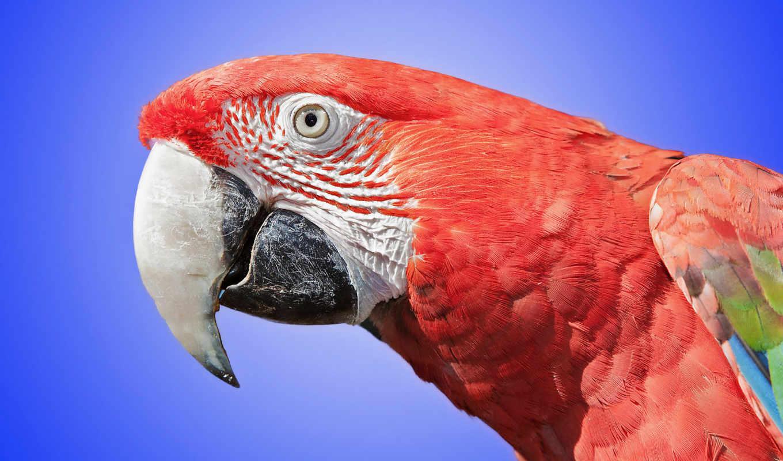 попугаи, совершенно, категория, zhivotnye, rendering, ara,