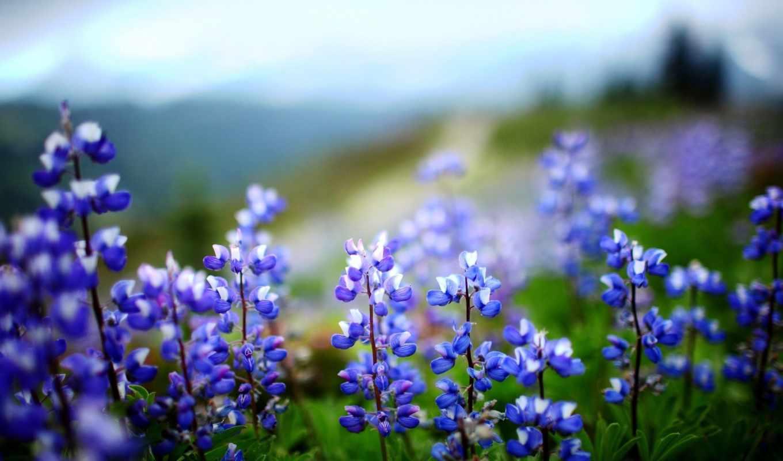 цветы, листья, растение, зелёный, люпин,