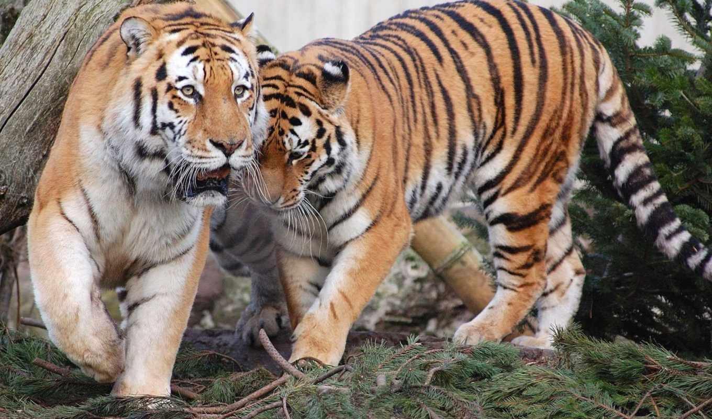 tiger, high, widescreen, desktop, resolutions, quality, photos,