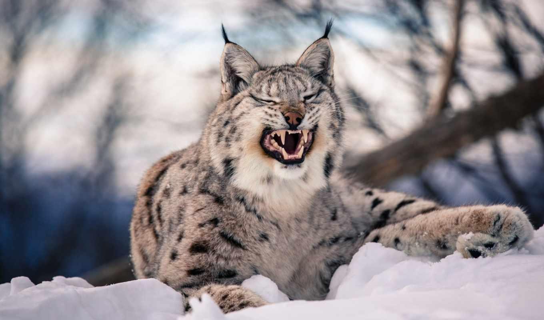рысь, кот, хищник, зубы, ухмылка, клыки, снег, winter, дикая,