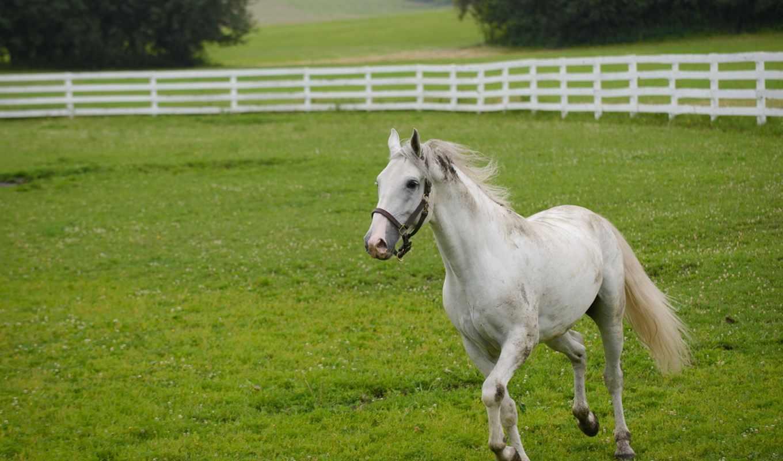 лошади, веке, has, lipizzan, слово, австрии, еще, выведена, танцоры, порода, была, липпицианские, прирождённые,