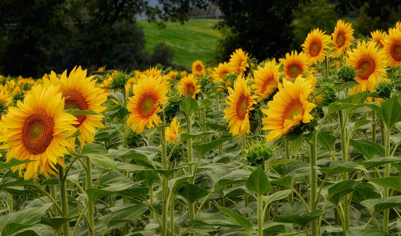 цветы, подсолнухи, campos, букеты, поля, flores, листья, fonds, природа, girassols,