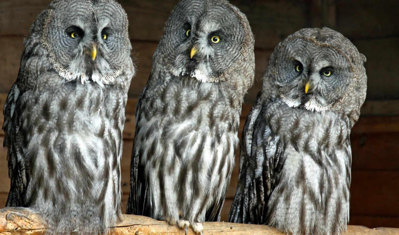 сова, бородатая, совы, крылья, trinity,