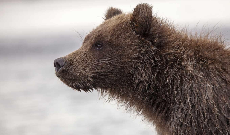 медведь, морда, profile, zhivotnye, нояб,