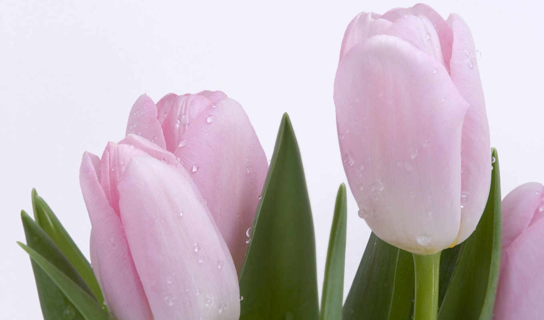 цветы, красивые, тюльпаны, картинка, фотографий, красивая, маки, телефон,