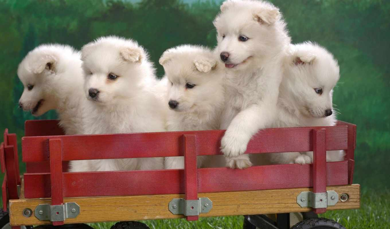 animals, pets, самоедские, лайки, pet, щенки, тележке, samoyed,