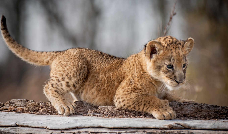 guepardos, pantalla, animales, фотографий, красивые, fondos, gato, para, silvestre, tapet,