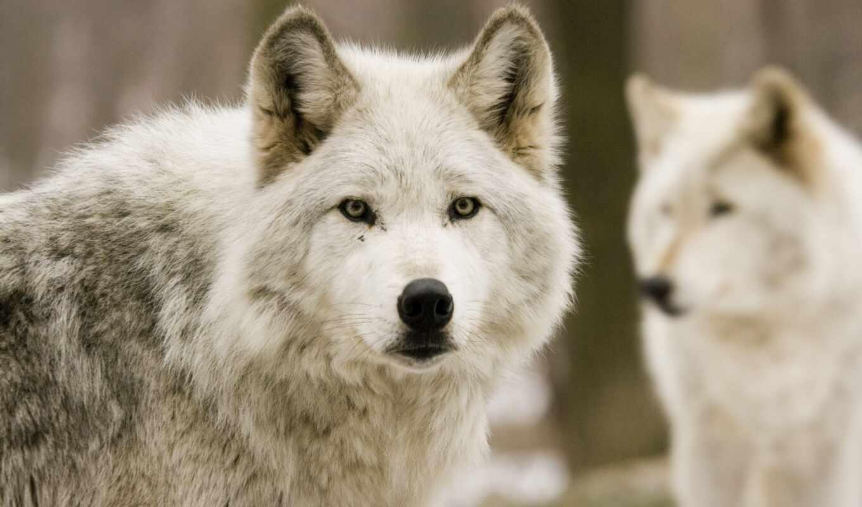 волк, хищник, white, лес, морда