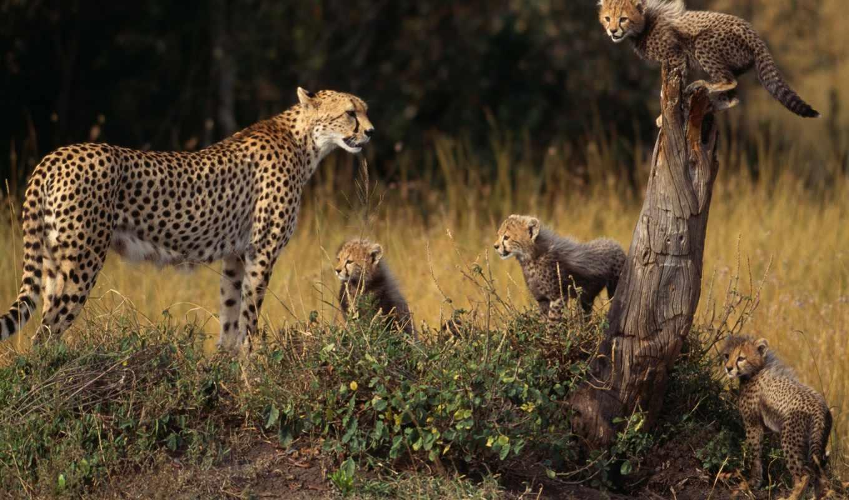гепард, детеныши, животные, семья, смотрите,